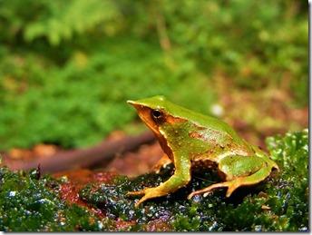 Darwin's frog 2 AVS